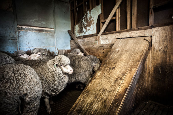 Sheep at a wool shed belonging to one of Jemalong Wool's valued clients